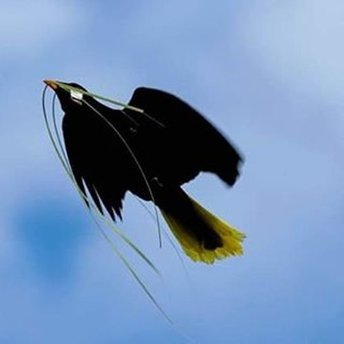 Oropendola de montezuma Costarica Puravuda Birds Bird Oropendola Bestbirds Bestbirdsshot Birdsofinstagram Birdsofcostarica Rainforestbirds Rainforest Your_best_birds Birdswatch Natgeowild Natgeo Discovery Animal Animalplanet Nofilter Smithsonian