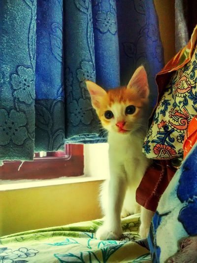 Cat cats internet funny luckyclick Domestic Cat Looking At Camera Portrait Day Mammal One Animal Feline No People Animal Themes Pets Indoors  Domestic Animals Lucky Shot Great Look Intensive Look First Eyeem Photo