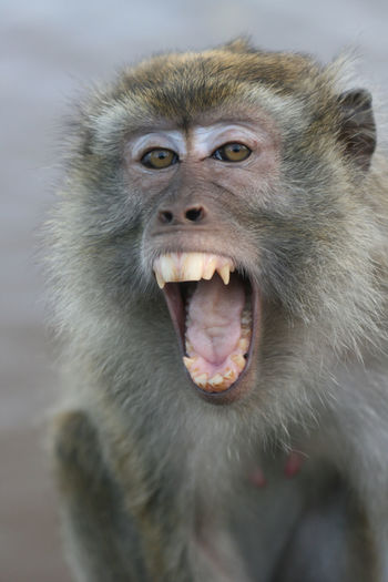 Aggressive monkey is showing the teeth and crying out Ape INDONESIA Aggression  Aggressive Anger Animal Animal Body Part Animal Hair Animal Head  Animal Mouth Animal Teeth Animal Themes Animal Wildlife Animals In The Wild Baboon Close-up Focus On Foreground Mammal Monkey Mouth Mouth Open No People One Animal Portrait Primate Vertebrate