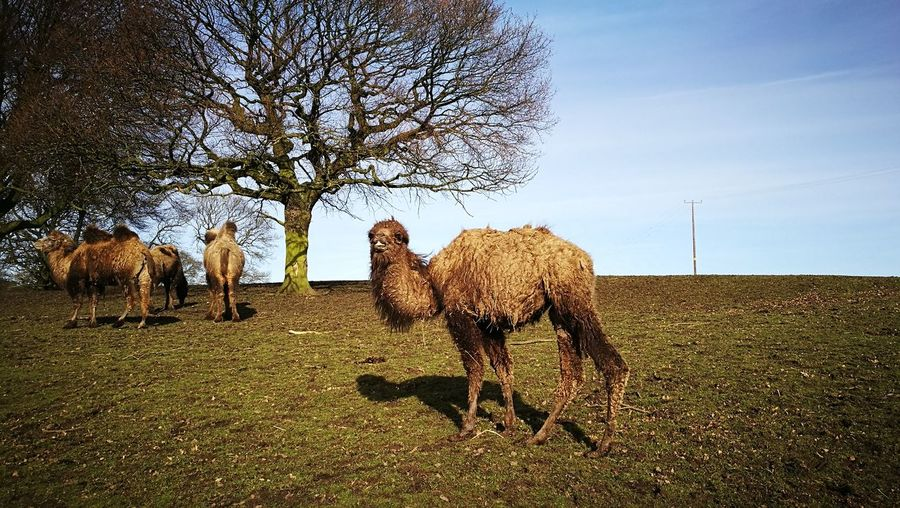 Camel EyeEm Selects Animal Wildlife Mammal Animals In The Wild Animal Themes Nature No People Sky