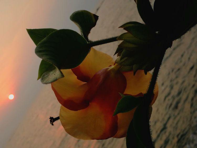 Fleur Couché De Soleil