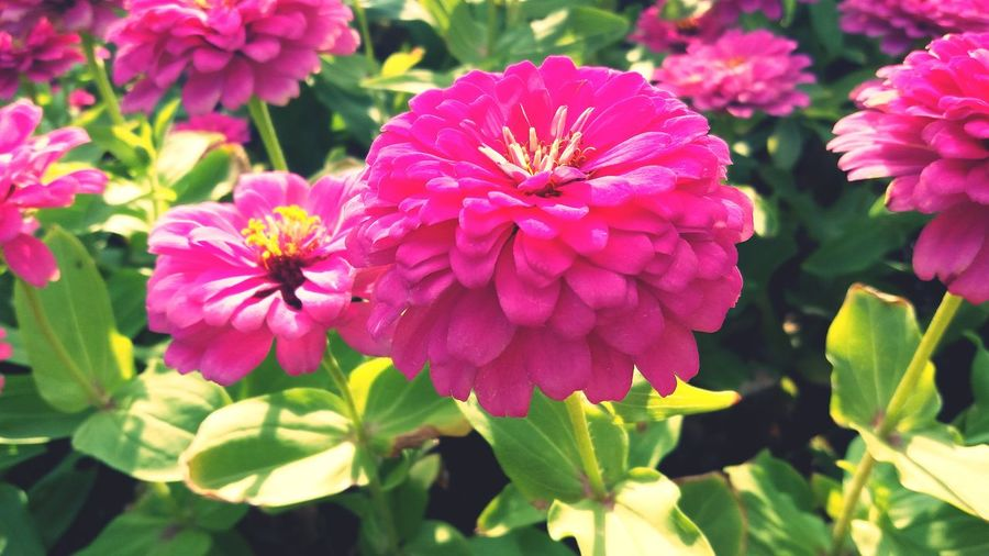 Collection Pink Zinnia Pink Zinnias Flower Bloom Flower Blooming Zinnia  Pink Flower Flower Head Flower Pink Color Petal Leaf Close-up Blooming Plant