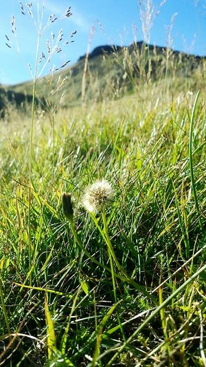 Dandies at the volcano 💚 Dandelions Green Volcano What I Value Its The Little Things Perspectives Beautiful Iceland