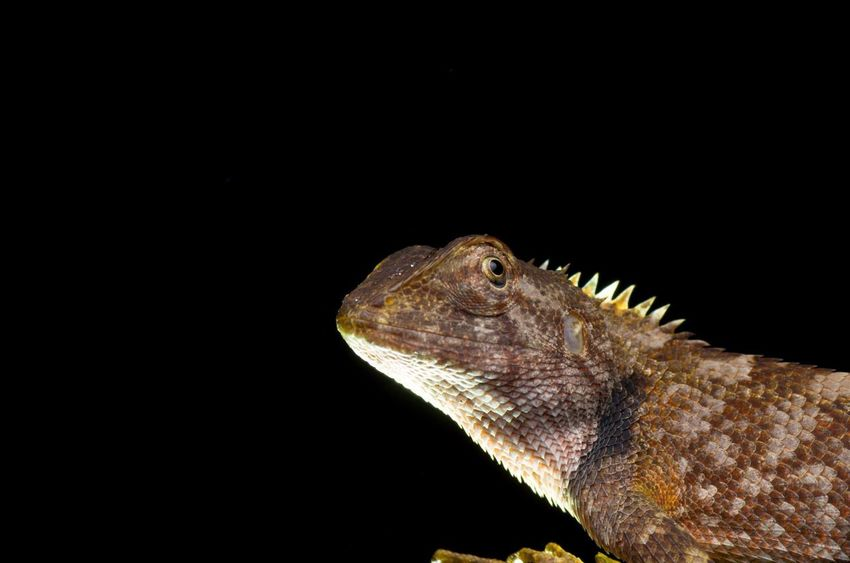 Upclose macro shot of Oriental garden lizard - Calotes versicolor , Garden lizard , Changeable lizard. Looking EyeEm Best Shots Exotic Changable Dragon Versicolor Green Iguana Borneo Background Education HEAD Macro Nature Lizard One Animal Animal Wildlife Animals In The Wild Reptile Close-up Animal Themes No People Night Outdoors Nature Black Background