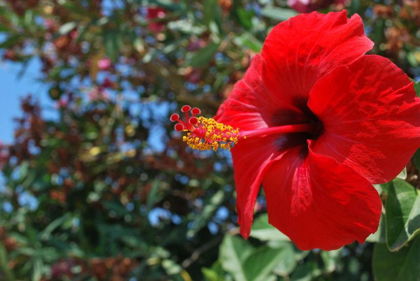 Flower Flower Head Ibiscus Nature No People Petal Plant Red Stamen