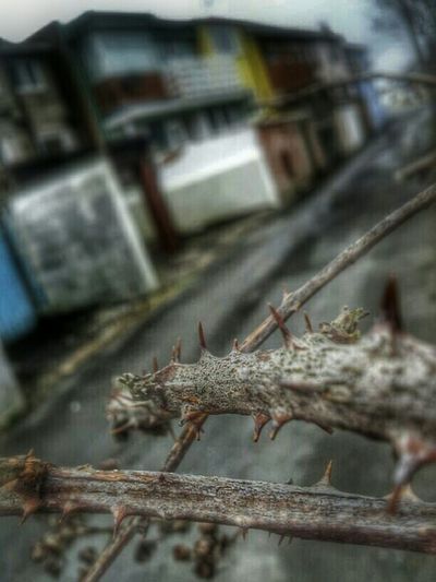 borth, wales again my son's photos today my edits. Borth, Wales Spike Thorn Weed Fruit Borth, Wales Hdr_Collection Blackberry Dead Nature Colours Spiky Winter Walk Fishing Village Check This Out Hanging Out Sharp Spiked