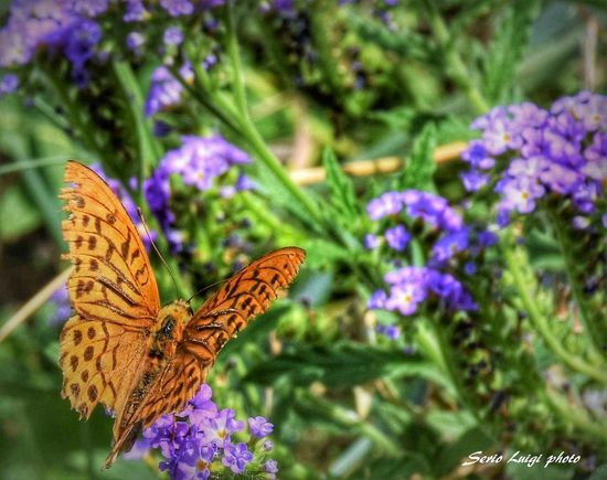 Butterfly Macro Photography Beauty In Nature Garden Photography Flower Head Spread Wings Flower Pollination Butterfly - Insect Butterfly Insect Purple Animal Wing Close-up
