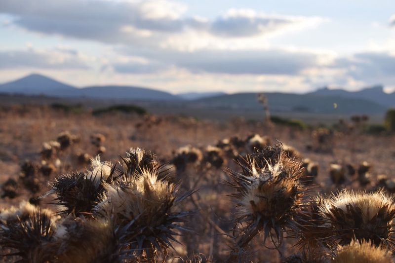 Nature Field Focus On Foreground Plant No People Sky Growth Tranquility Outdoors Day Beauty In Nature Landscape Arid Climate Flower Thistle Close-up Fragility Flower Head