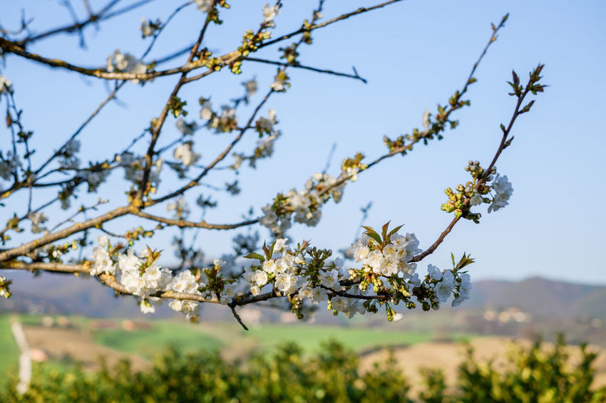 Agriculture Beauty In Nature Blossom Branch Cherry Blossom Close-up Day Flower Flower Head Flowering Plant Focus On Foreground Fragility Freshness Fruit Tree Growth Nature No People Outdoors Plant Sky Springtime Tree Vulnerability