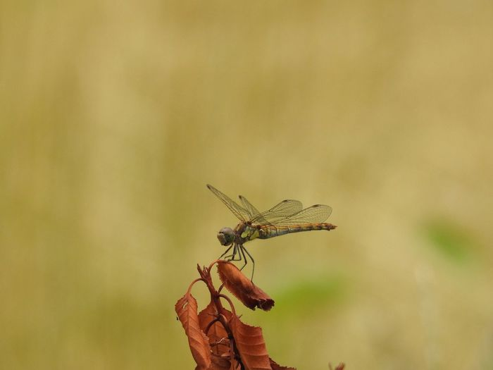Waiting around Dragonfly Animal Themes Animal Nature Focus On Foreground No People