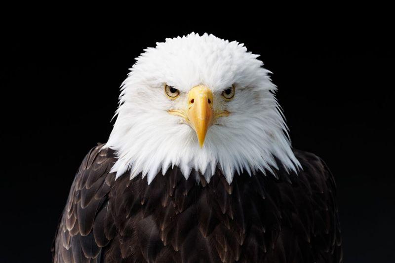 Animal Bird Animal Themes Bird Of Prey Vertebrate One Animal Eagle Eagle - Bird Animal Head