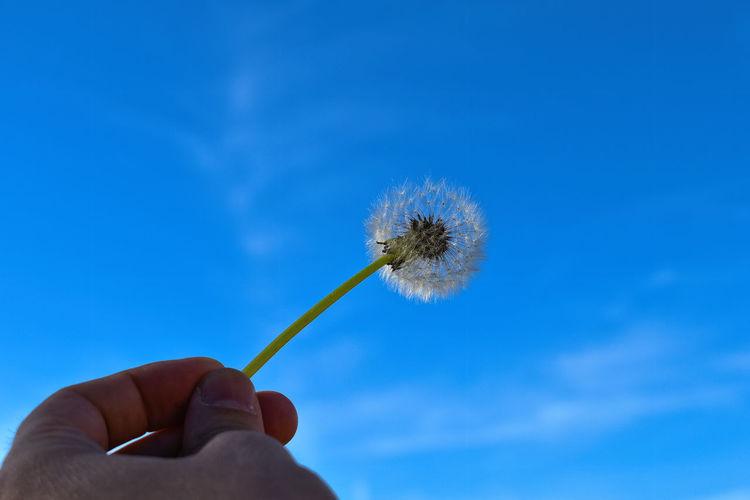 Close-up of hand holding dandelion against blue sky