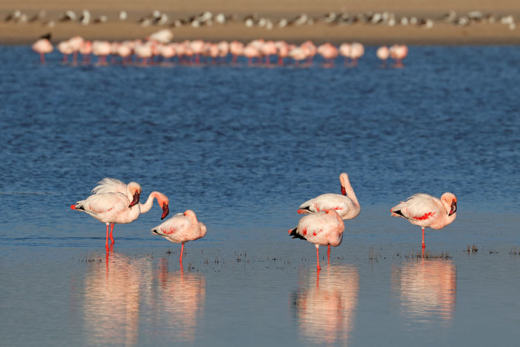 African Greater Flamingo Phoenicopterus Roseus South Africa Africa Animal Themes Animal Wildlife Animals In The Wild Beauty In Nature Bird Day Flamingo Flamingos In Water Flock Of Birds Freshwater Bird Lake Nature No People Outdoors Reflection Safari Scenics - Nature Water Water Bird