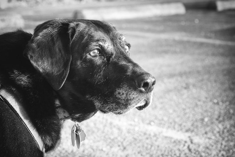 My boy Ziggy. Looking all handsome. Black Black Color Canine Close-up Dog Domestic Animals I Love My Dog Labrador My Best Friend Nikon D7000 No People Pet Collar Pets Purebred Dog Pet Portraits Black And White Friday