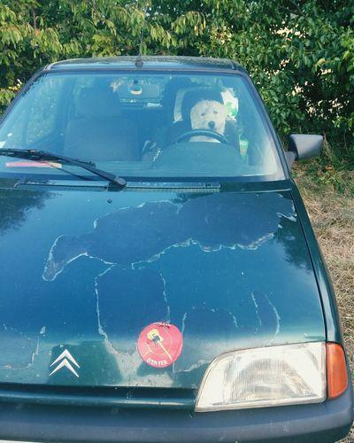 Driving Dog Enjoying Life Peugeot Transportation Animal Themes