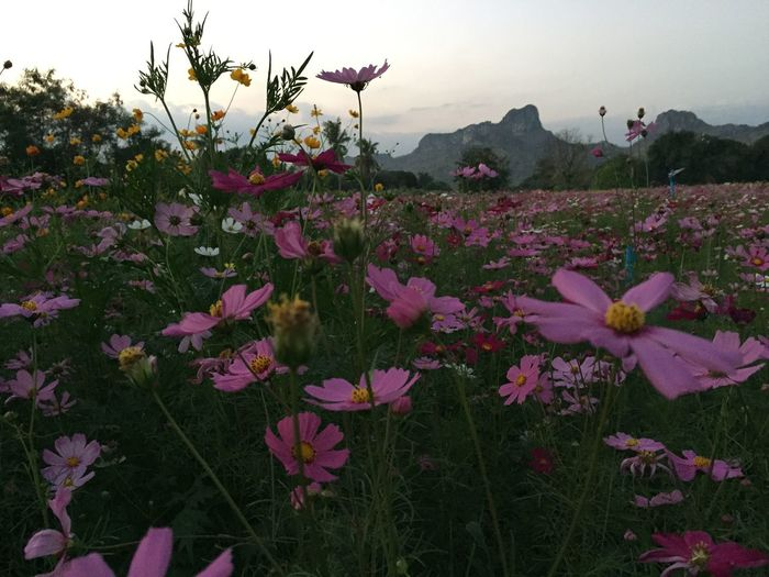 Beauty In Nature Blooming Close-up Cosmos Flower Day Field Flower Flower Head Fragility Freshness Grass Growth Landscape Mountain Nature No People Outdoors Petal Pink Color Plant Scenics Sky