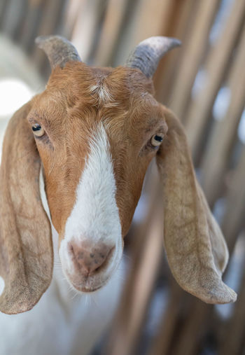 Close-up of goat