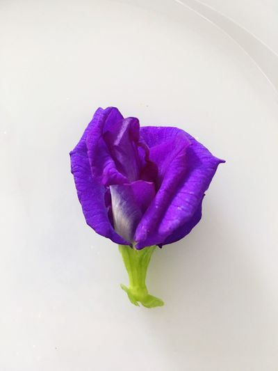 Alone BUTTERFLY PEA Flower Petal Fragility Purple Beauty In Nature Flower Head Nature