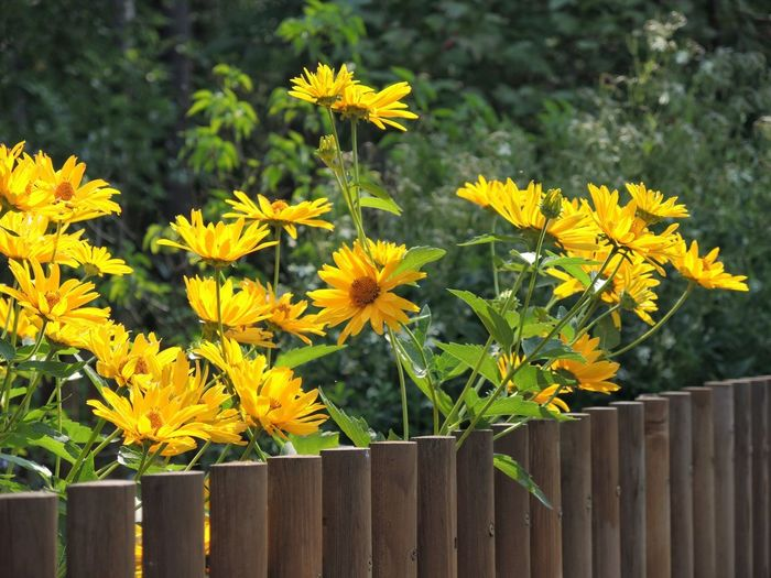 Close-up of yellow flowering plants by fence