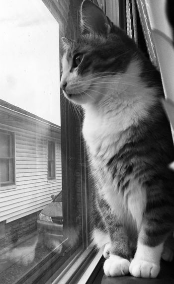 Animal Themes One Animal Animal Pets Domestic Domestic Animals Mammal Cat Feline Domestic Cat Window Looking No People Sitting Indoors  Close-up Whisker Looking Through Window