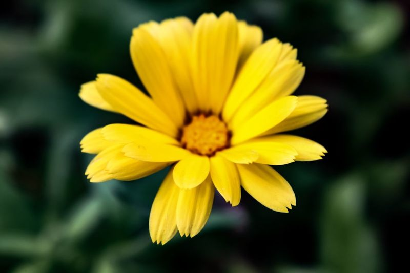 Heliopsis Helianthoides, September 2018 Falsesunflower Nature Autumn Closeup Oxeye Beauty In Nature Close-up Flower Head Flower Beauty Yellow Closing Defocused Petal Black Background Blossom Flowering Plant In Bloom Plant Life Botany Blooming