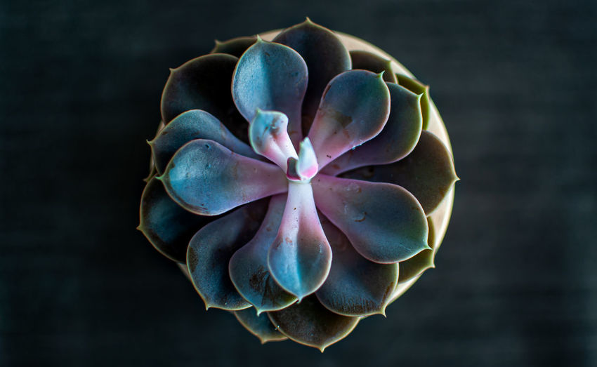 Close-up of blue succulent