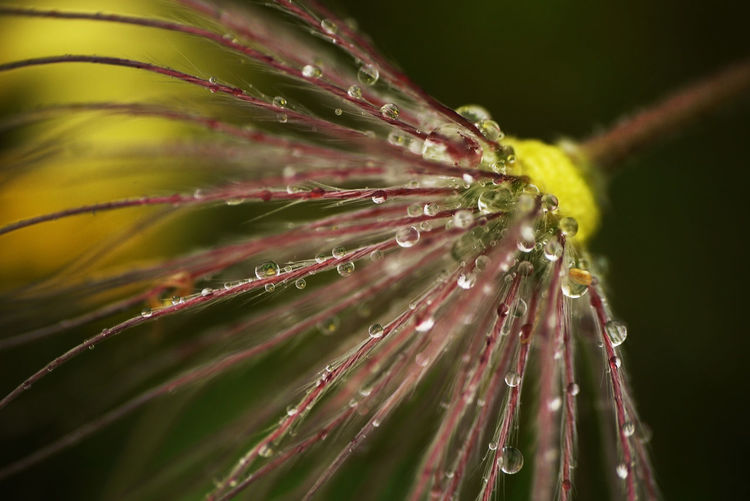 After The Rain Beauty In Nature Botany Close-up Drop Focus On Foreground Fragility Nature Overblown Pasqueflower Plant Springtime Wet