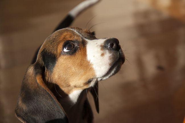 Little Dog - Breed Beagle Animal Beagle Breed Brown Dog Eyes Fur Little Lookingup Mammal People Pet Purebred Waiting