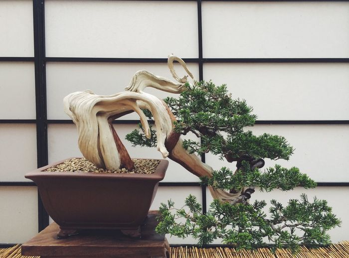 Close-up of bonsai tree against wooden wall