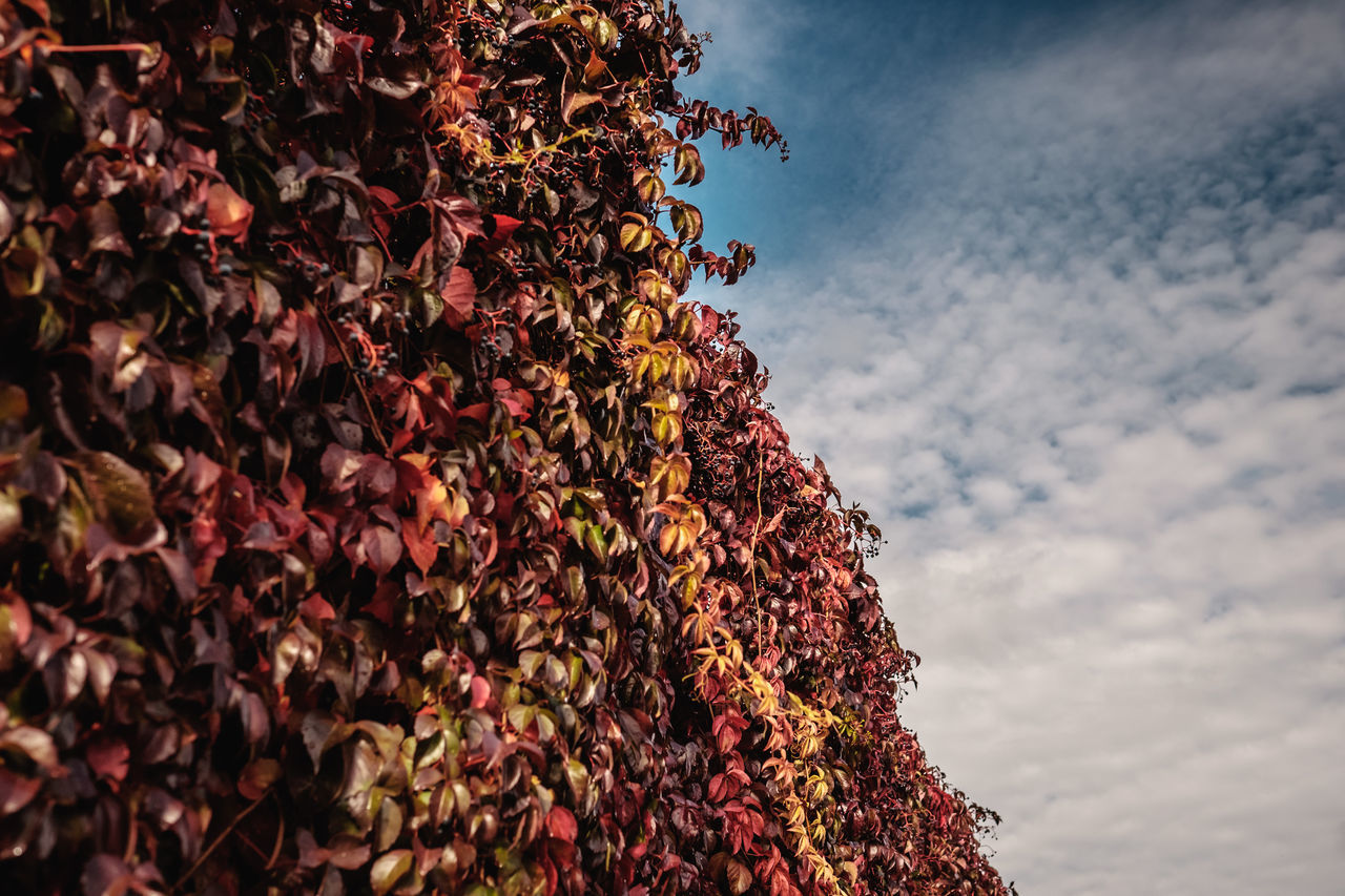 abundance, nature, low angle view, day, sky, outdoors, leaf, growth, beauty in nature, cloud - sky, autumn, no people, ivy, plant, tree, fragility, flower, freshness, close-up