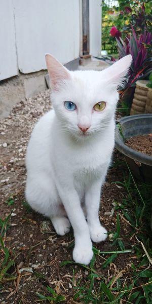 Odd-eyed cat (heterochromia iridis) animal oddeyedcat cat uniqueness EyeemPhilippines Animal Oddeyedcat Cat Pets Portrait Sitting Feline Domestic Cat Looking At Camera Cute Animal Themes