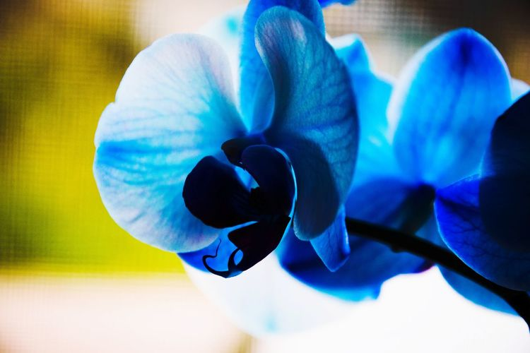 Blue orchild Orchild Blue Ilovenature EyeEm Nature Lover Eyemphotography Eyem Best Shots Nature_collection Eyemnaturelover Eyem Nature Eyem Nature Lovers  Eyem Flower Head Blue Multi Colored Close-up