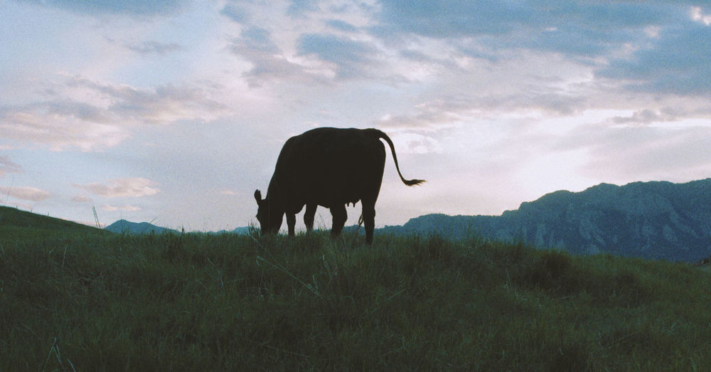 Cow standing in a field