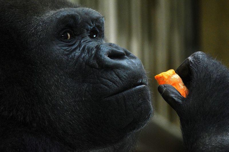 Close-up of gorilla eating food