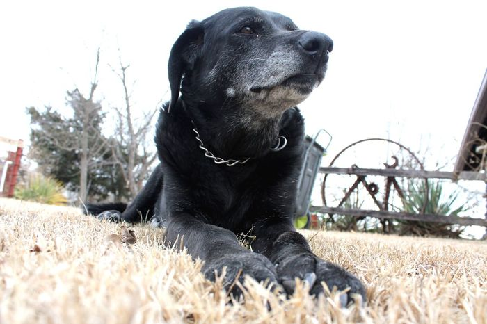 Daisy May Dog Dog Love Labrador Retriever Labrador Hunting Dog Sweet Cute Cute Pets