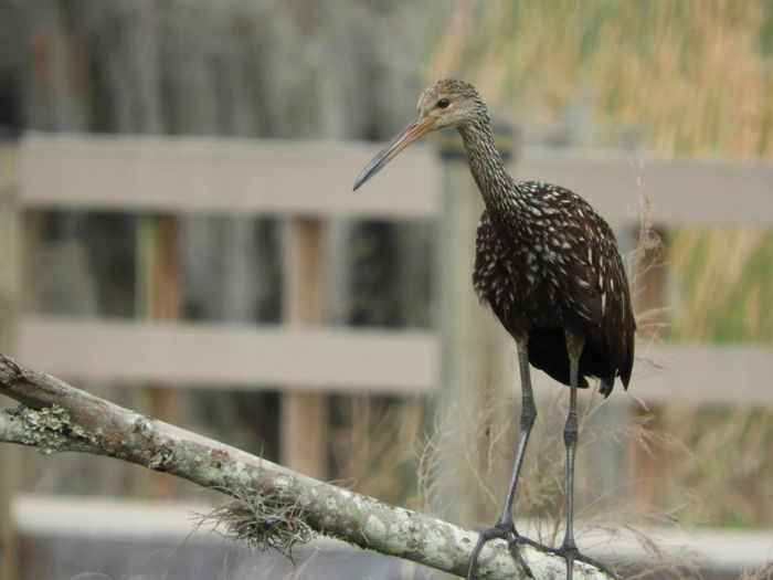 Limpkin Limpkin Standing On Branch Bird Watching Birds Wildlife Birds Of EyeEm  Nature Calm Tranquility Tranquil Scene Outdoors Beauty In Nature Nature Photography Bird Photography Bird Tranquil Scene Beak Feather