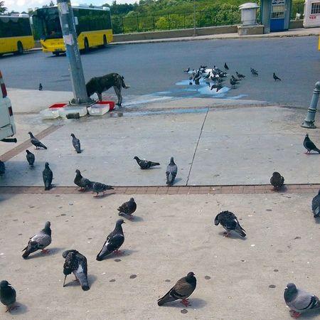 Haciosman Metro ve Otobus istasyonu... Sessiz bos ve hayvan merkezi misali :) guvercin kopek dog pigeon istanbul pazar iett
