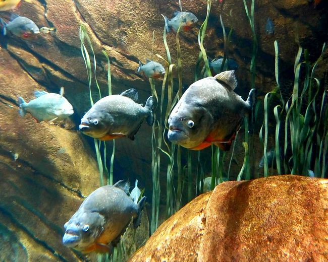 Nice fishy. Piranhas Fish Ferocious Small And Swift Enteratownrisk Donotenter Dangerous Beings