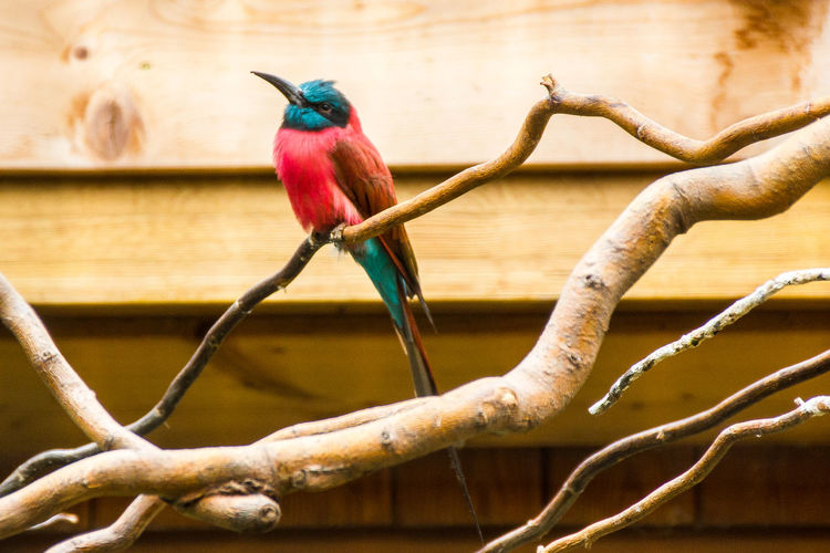 Close-up of northern carmine bee-eater perching on branch at zoo
