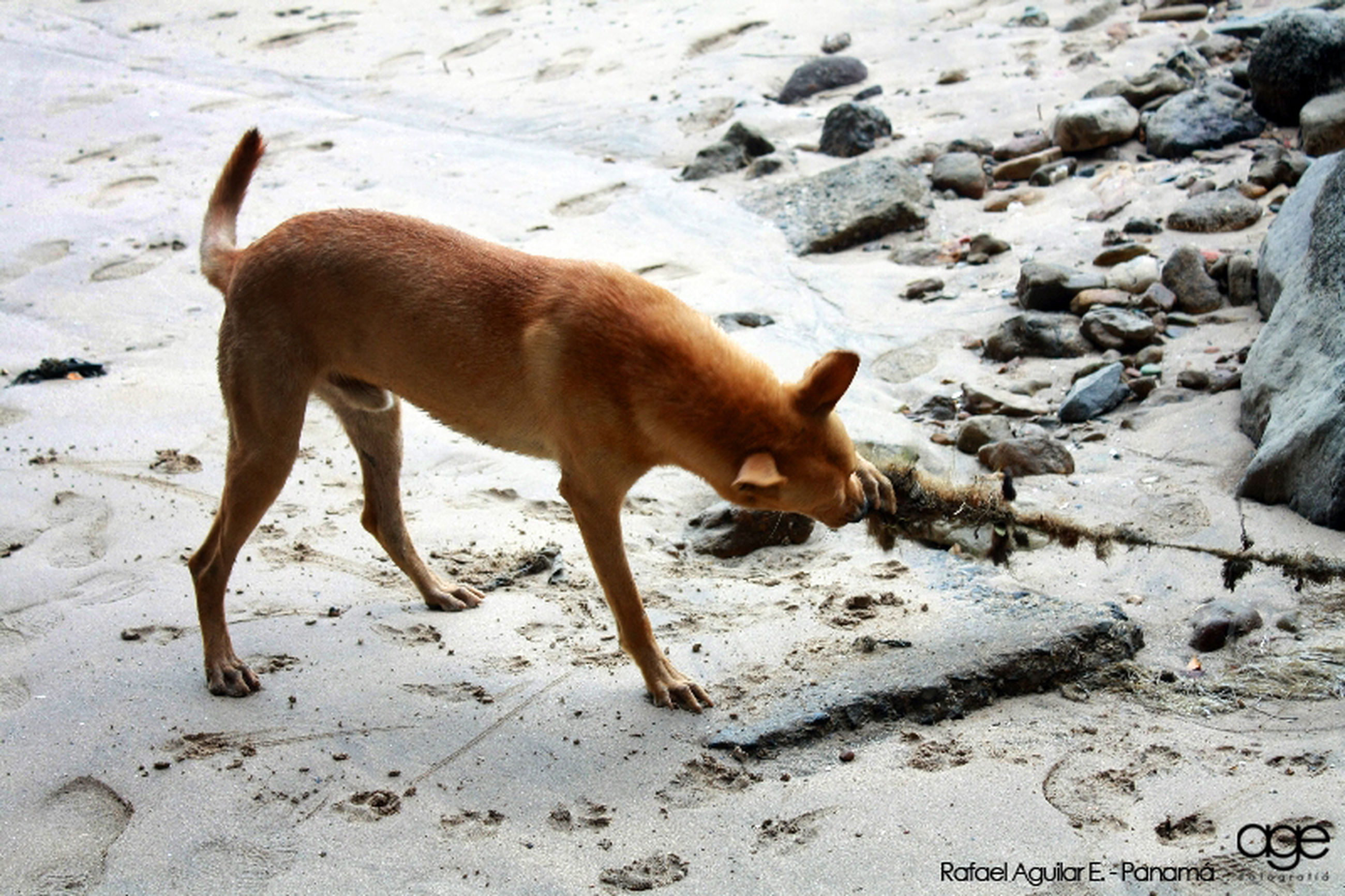 animal themes, mammal, domestic animals, full length, one animal, standing, walking, side view, sand, high angle view, brown, dog, outdoors, day, sunlight, beach, nature, no people, zoology, pets