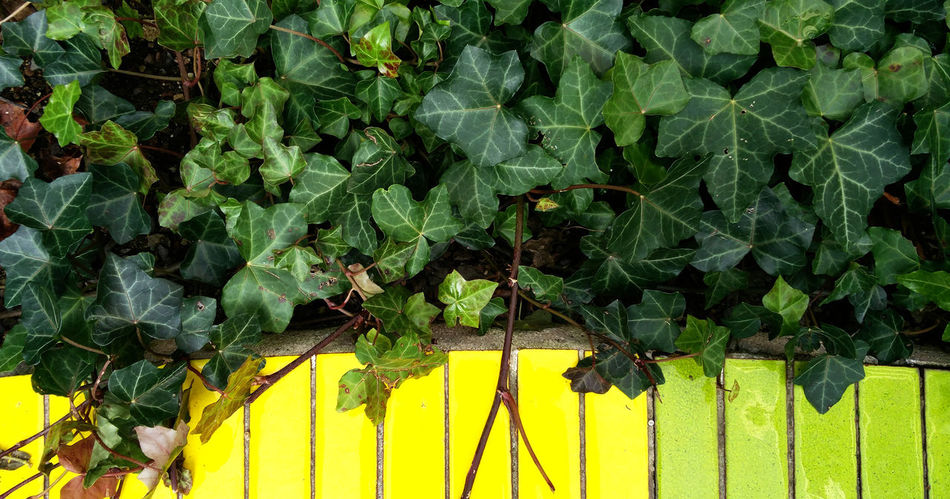 Color Block Barrier Boundary Close-up Color Blockıng Colour Block Green Color Growth Ivy Leaf Lines And Shapes Minimalism Nature Simplicity Tiles Yellow