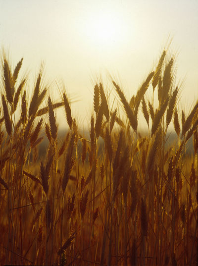 Agriculture Bread Ear Of Rye Ear Plugs Grain Ripen Ripening Ripening Grain RYE Summer Sun