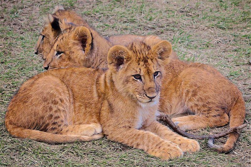 Lion Lions Lion