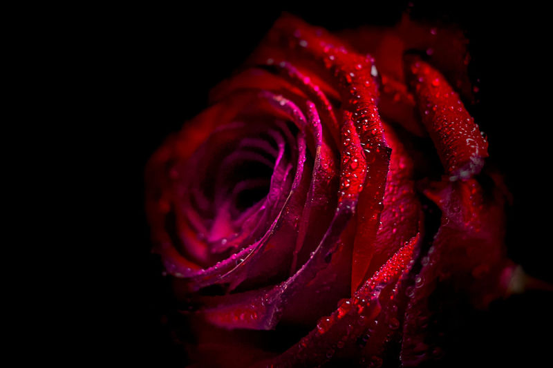 Close-up of wet red rose at night