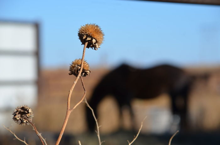 Close-up Day Dried Flower Flower Head Focus On Foreground Fragility Freshness Horse Nature No People Outdoors Sky Thistle Wilted Plant