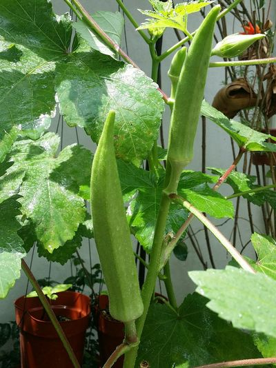 Lady's Fingers Vegetable Plant Okra Tiong Bahru Nature Urban Nature Naturelover Singapore Ms Liew
