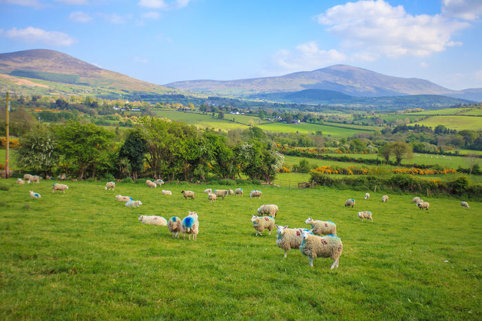 Animal Themes Beauty In Nature Day Domestic Animals Field Flock Of Sheep Grass Grassland Grazing Green Color Landscape Large Group Of Animals Livestock Mammal Mountain Nature No People Outdoors Pasture Rural Scene Scenics Sheep Sky Tranquil Scene Tranquility