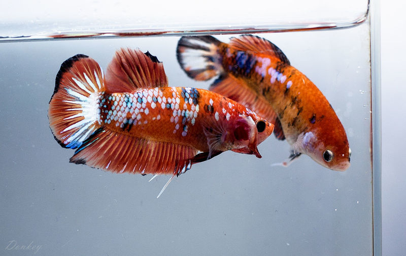 Pair of Fancy Betta fish from Thailand Aggressive Animal Aquatic Betta Fish Fancybetta Flaring Male And Female Pair