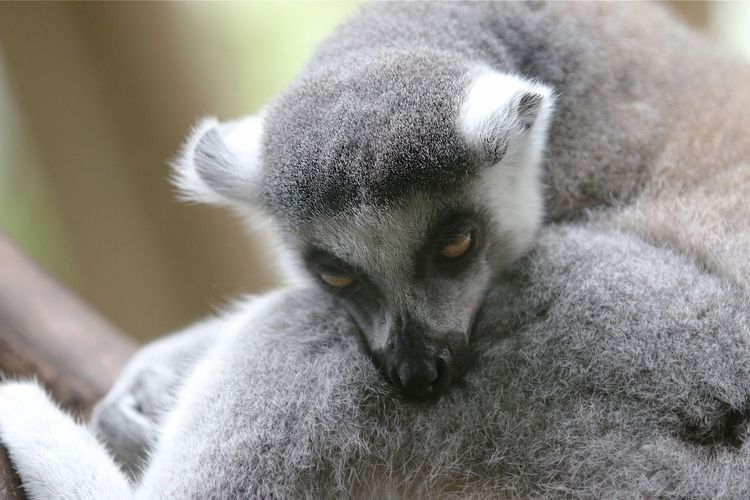 Ring Tailed