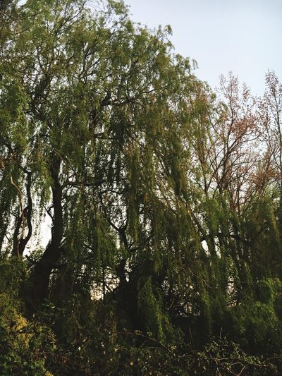 Tree Nature Low Angle View Growth No People Outdoors Forest Green Color Day Sky